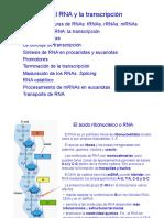 Tema 8. RNA y la transcripcion