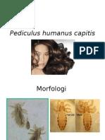 16.Pediculus Humanus Capitis