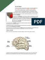 Anatomía y Composición de Cerebro