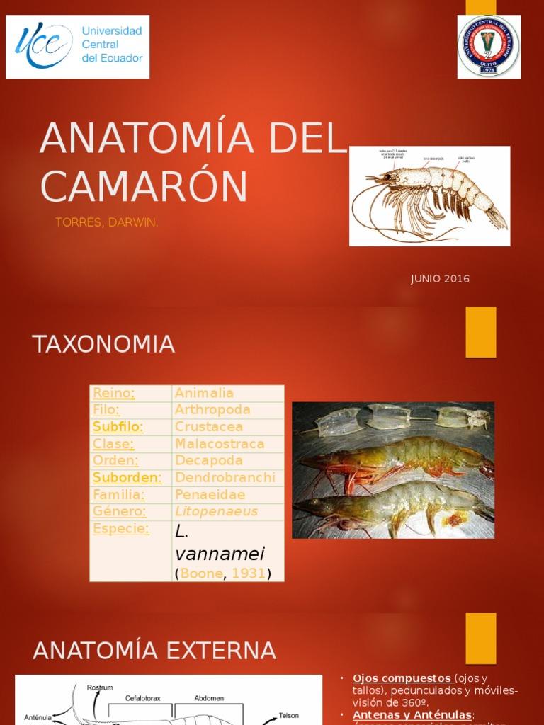 Anatomía Del Camarón-Torres