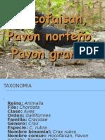 Hocofaisan, Pavon norteño, Pavon grande