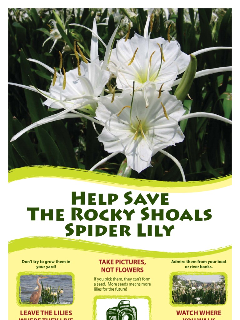About The Rocky Shoals Spider Lily Lilium Botany