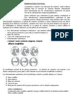 Determinantes de La Morfología Oclusal