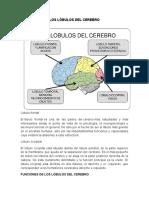 Los Lóbulos Del Cerebro