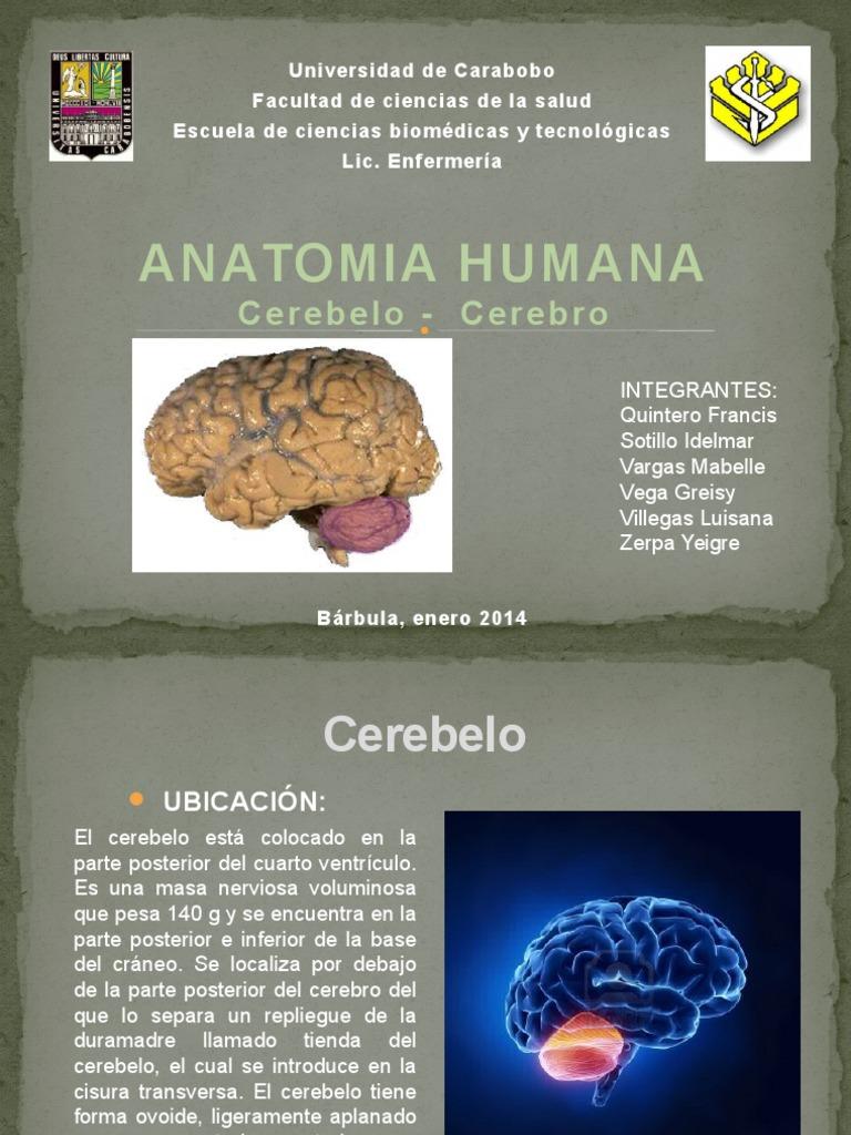 cerebelo cerebro.pptx