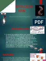 Morfologia Arn Ppt