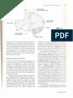 Estructura Bxsica Del Cervell