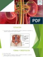 Insuficiencia Renal Anatomia