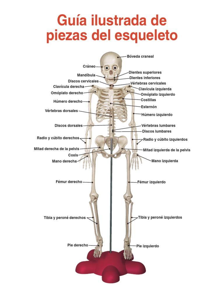 Huesos del cuerpo humano y montaje de colección Conozca más