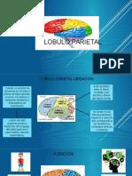 Lóbulo Parietal II