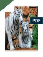 Tiger 05