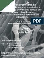 Formación de una colección de bacterias diazotróficas asociadas a variedades de caña de azucar en uruguay.pdf