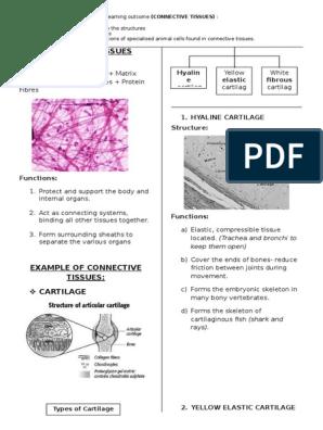 Connective Tissues Cartilage Granulocyte