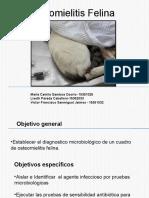 osteomielitis felina