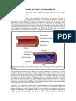 Anatomía de Vasos Sanguíneos