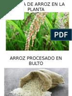 SEMILLA DE ARROZ EN LA PLANTA.pptx