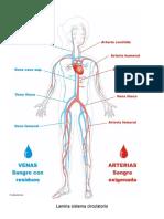 Lamina Sistema Circulatorio