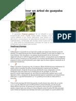Cómo Cultivar Un Árbol de Guayaba