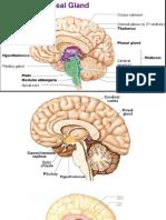 thalamusepiphysishypothalamushypophysisanat