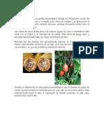 Practica Del Cacao