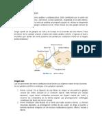 NERVIO VESTIBULOCLEAR , anatomia