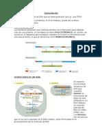 Transcripcion del DNA