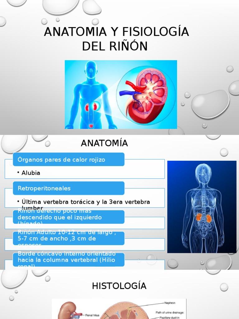 Anatomia y Fisiología Del Riñón