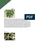 Ficus Elastis