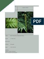 Marattia Dan Ophioglossum