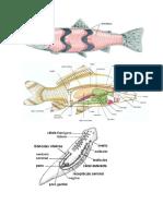 peces oseos.docx