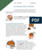 El Cerebro Organización y Función