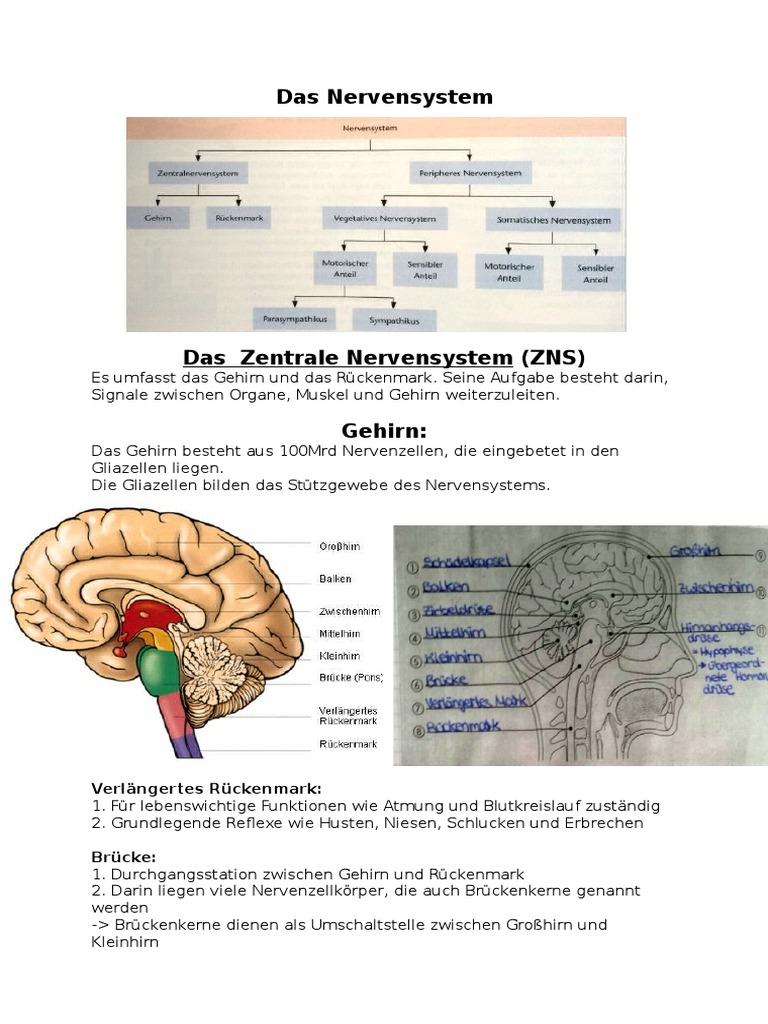 Beste Rückenmark Anatomie Und Physiologie Ppt Bilder - Anatomie ...