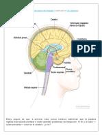 Brain.docx