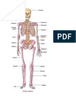 Anatomía Del Sistema Óseo