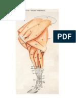 partes del muslo