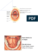 Anatomia Bucodental