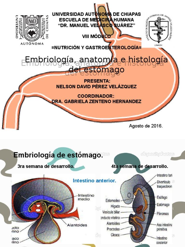 Embrio, Anato e Histo de Estomago