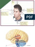 4  higher level structures  phantom limb   split-brain  ppt