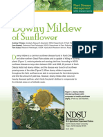 Sunflower Downey