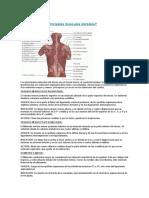 Cuáles Son Los Principales Músculos Dorsales