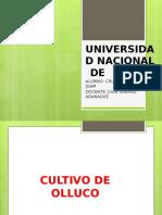 CULTIVO DE OLLUCO.pptx