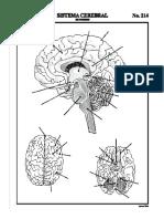 Esquema Del Cerebro