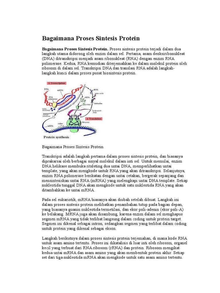 174076910 bagaimana proses sintesis proteincx ccuart Image collections