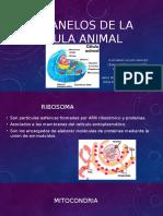 ORGANELOS de La Célula Animal