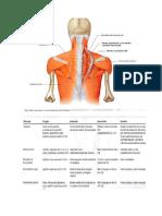 musculos origen insercion accion.docx