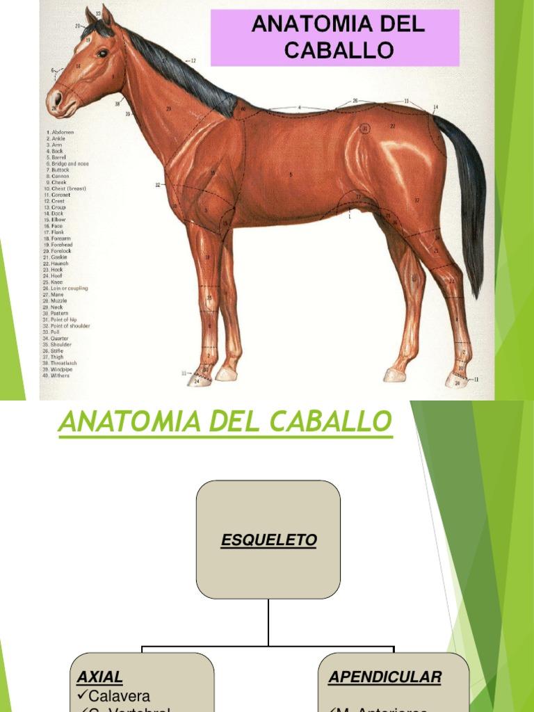Anatomia, Conformacion y Fisiologia Del Caballo