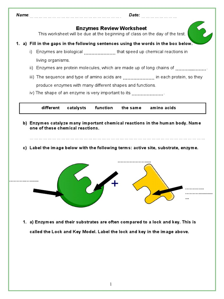 Worksheets Enzymes Worksheet enzymes review packet 2 digestion active site