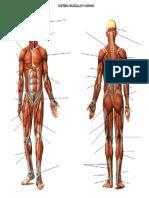 Sistema Muscular Sin Nombre