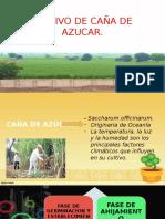 Cultivo de Azucar