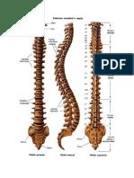 Columna Vértebral